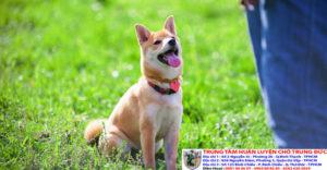 Hướng dẫn huấn luyện chó lệnh ngồi tại chỗ chuyên nghiệp